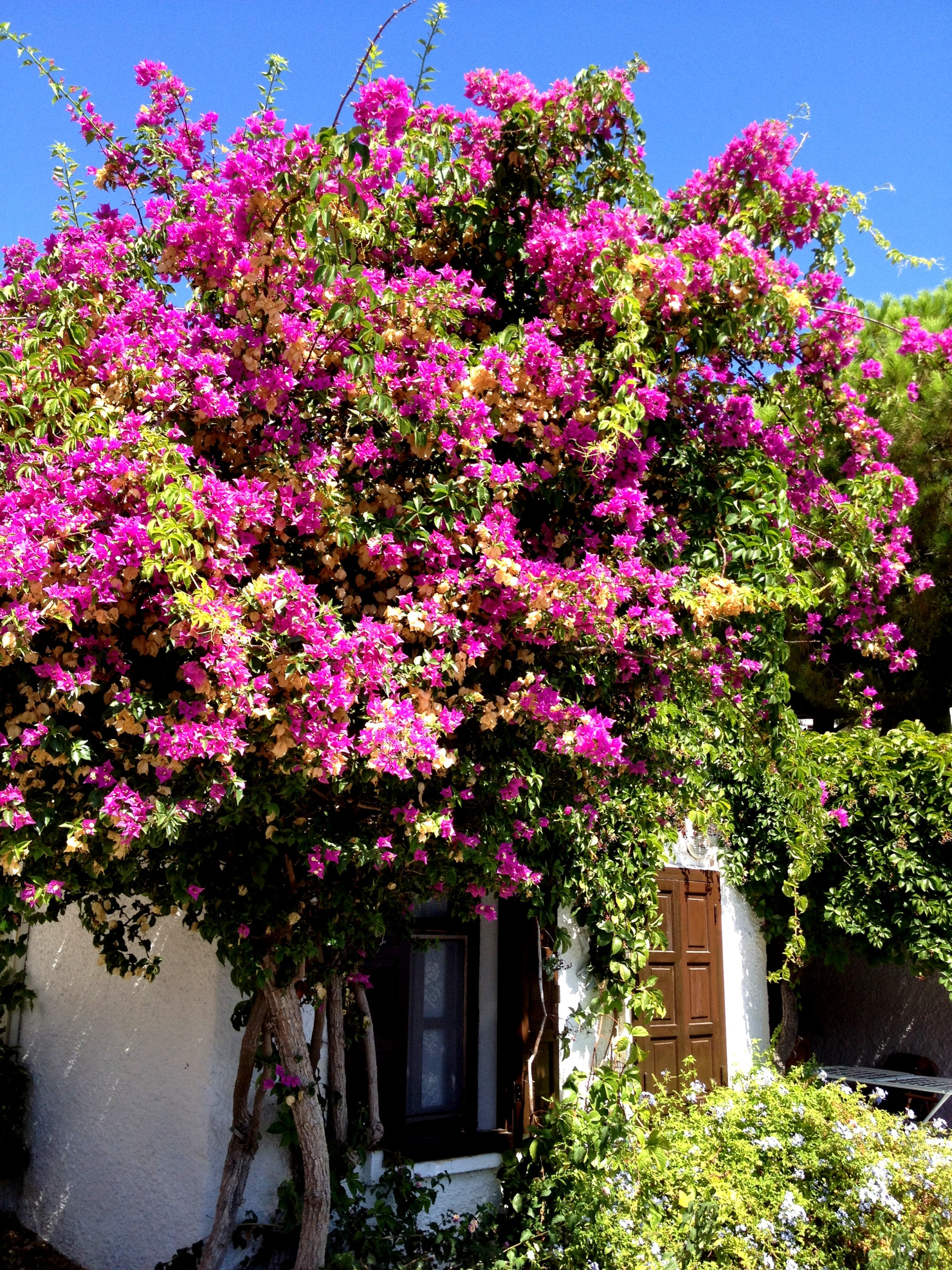 Bodrum begonvilles and summer houses